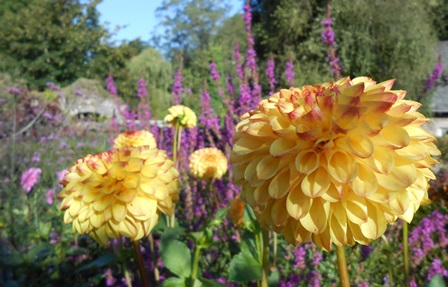 Dahlia 'Sunny Boy' in the Walled Garden photo Petra Hicks