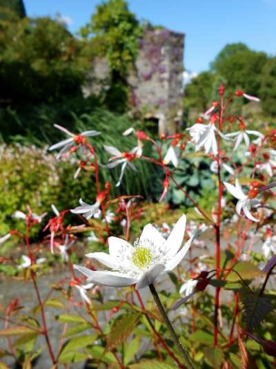 Gillenia trifoliata The Garden House.