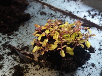 3 Preparing Cleome seedlings for potting up. ©JWright