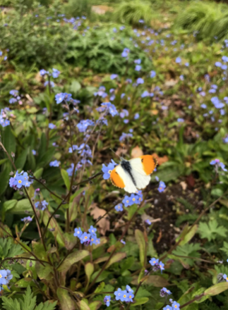 6 Orange tip butterfly spotted resting on forget-me-not in the cottage garden. Photograph by Jen Saywell.