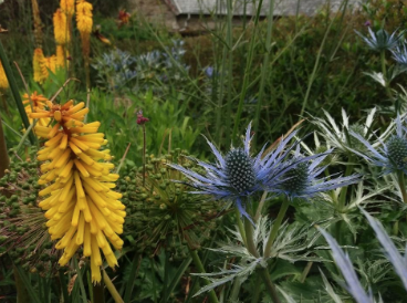 Kniphofia with Eryngium in the Walled Garden ©jwright