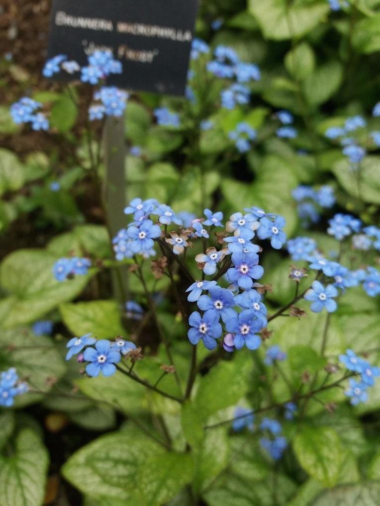 Brunnera macrophylla 'Jack Frost' in the walled garden. ©jwright