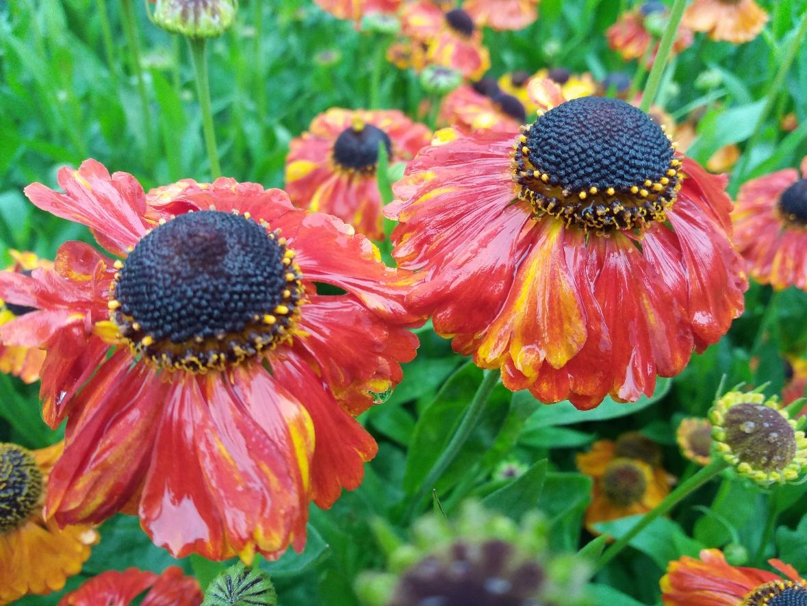 Helenium 'Sahin's Early Flowerer' in the walled garden on a rainy day. ©jwright