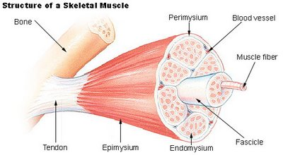 Muscles are made up many different strands that shorten as we contract. Adhesions and trigger point form between the fibers.