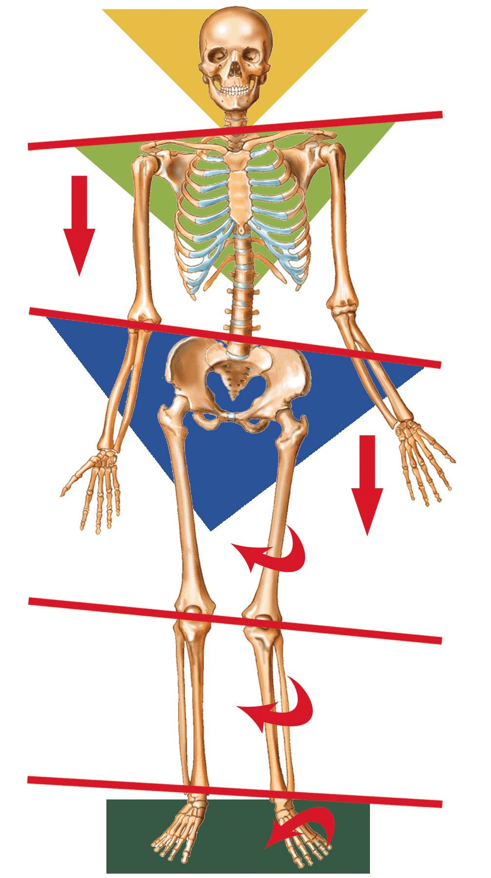 Imbalanced Skeleton Posture.jpg
