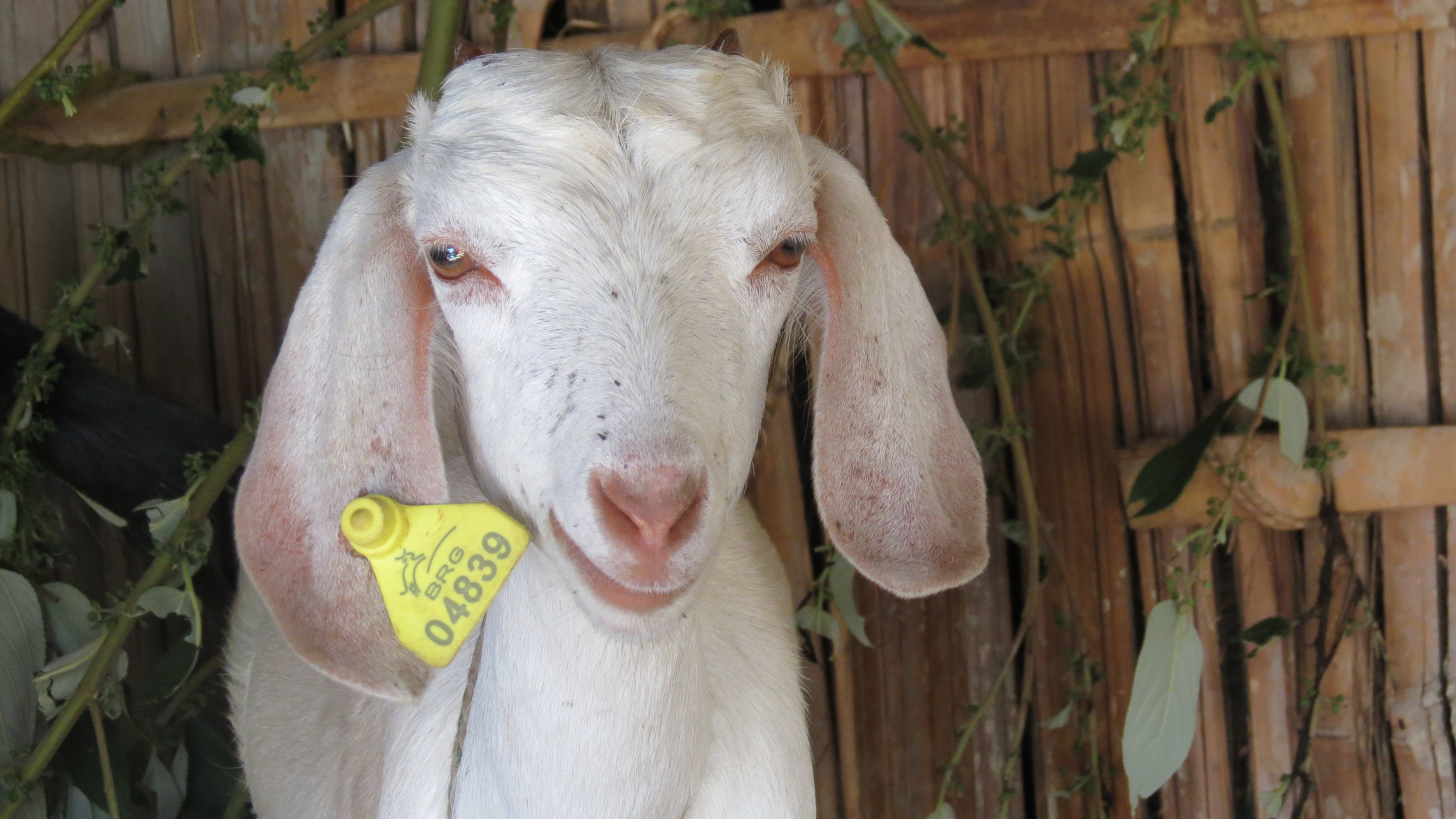 a goat from Heifer