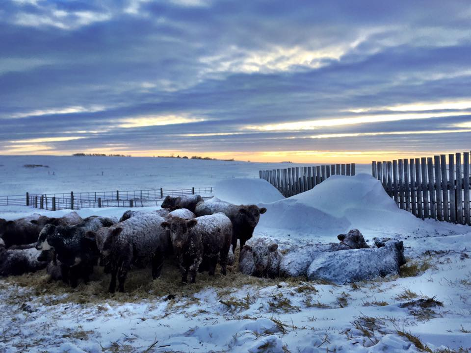 after a blizzard came through....believe it or not, the snow and straw keep them warm!