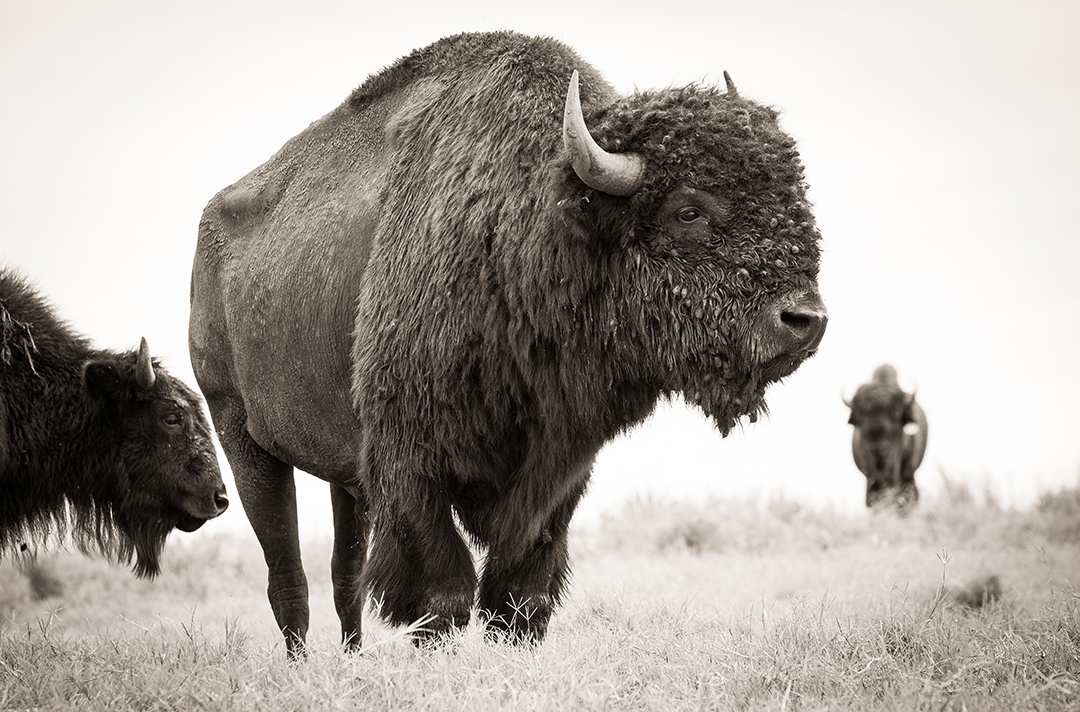 CLEARWATER RANCH BUFFALO  -