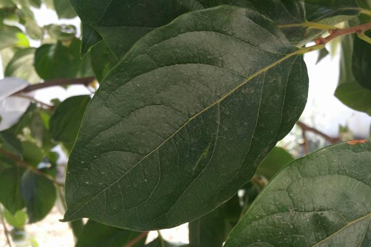 Persimmon_leaves_2222.jpg