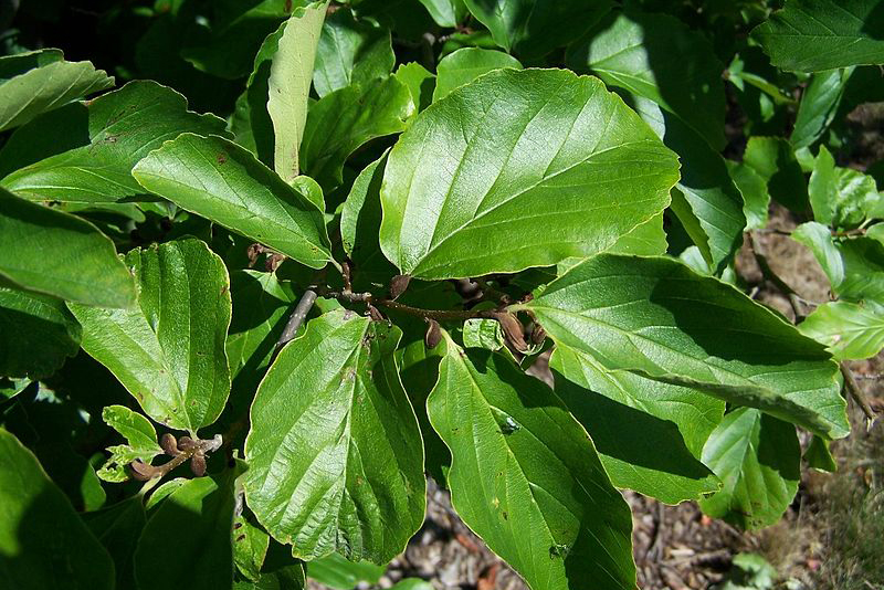 Persian Parrotia Leaves