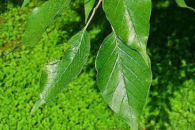 Osage Orange Leaves