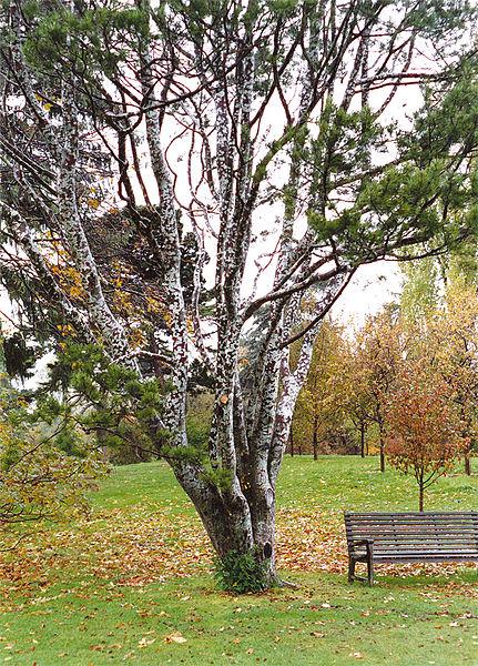 Lacebark Pine Shape