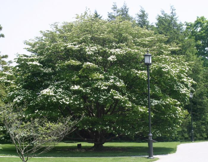 Kousa Dogwood Tree