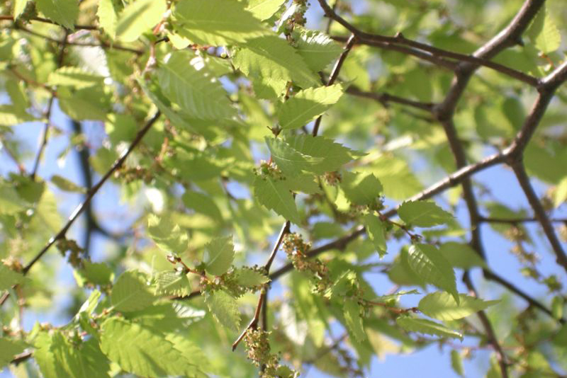 Japanese Zelkova Leaves