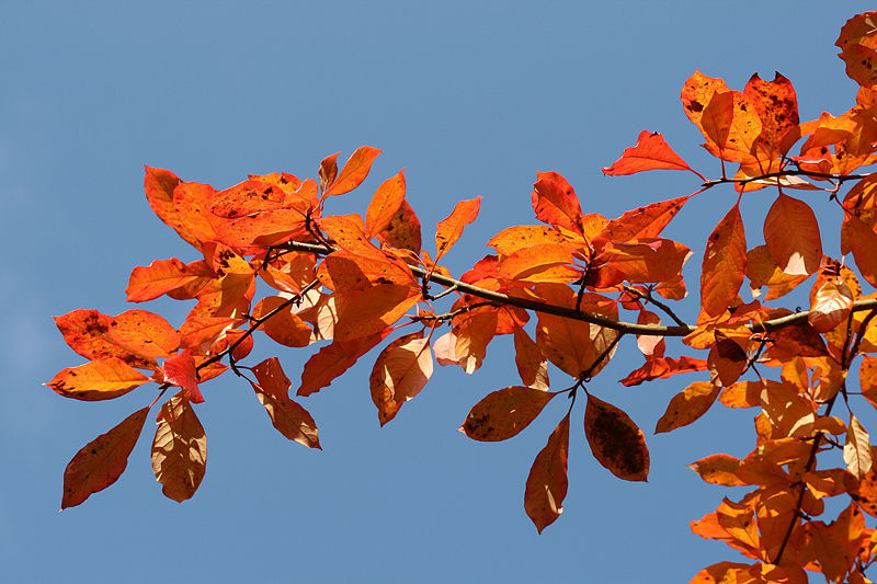 Black Tupelo leaves in the fall