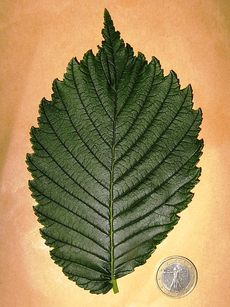 Valley Forge American Elm Leaf