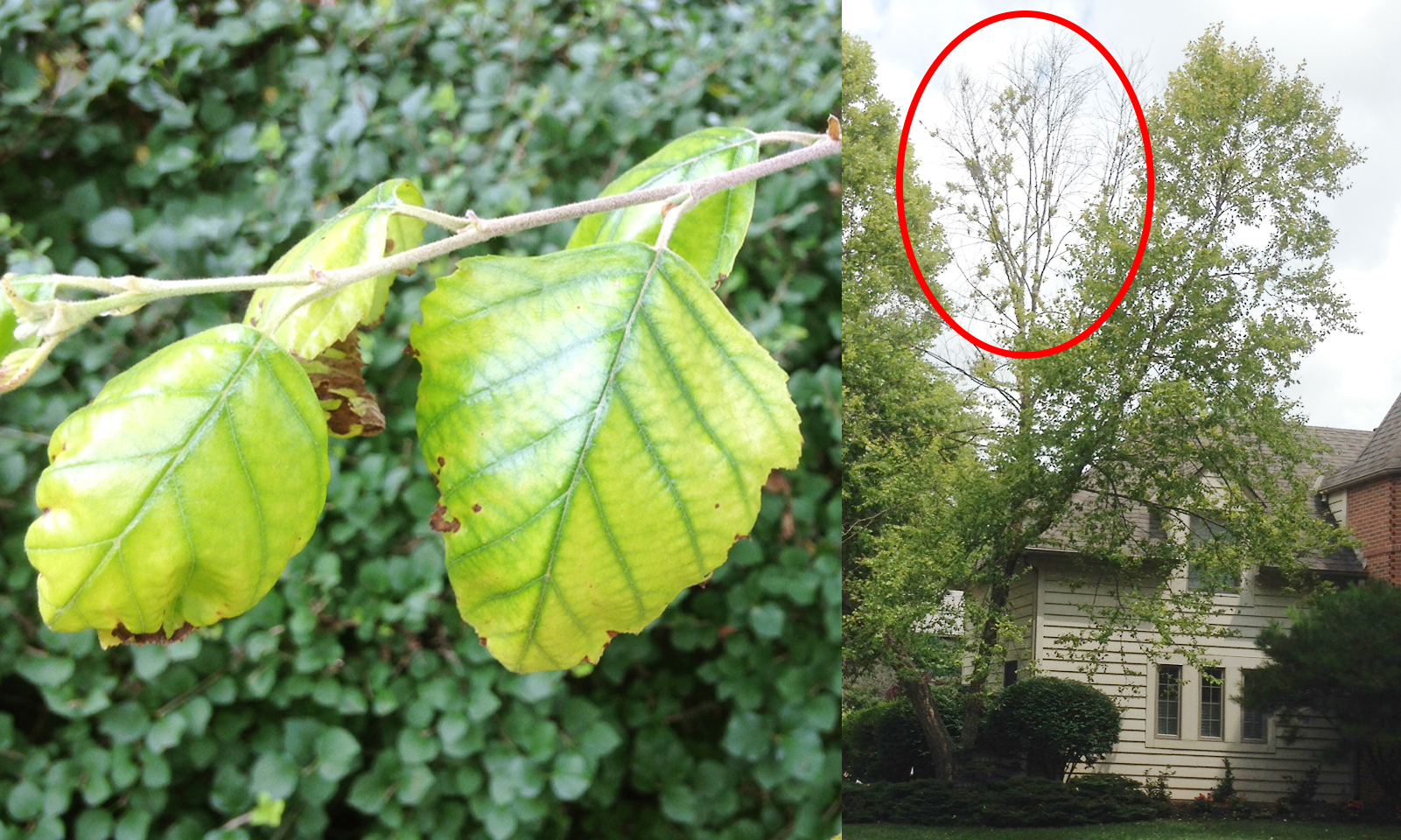 Chlorosis in a River Birch causing a die-back in the canopy