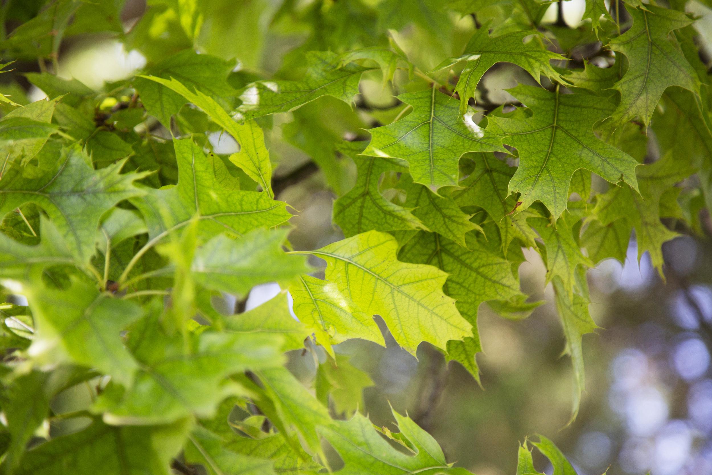 Chlorosis in a Pin Oak