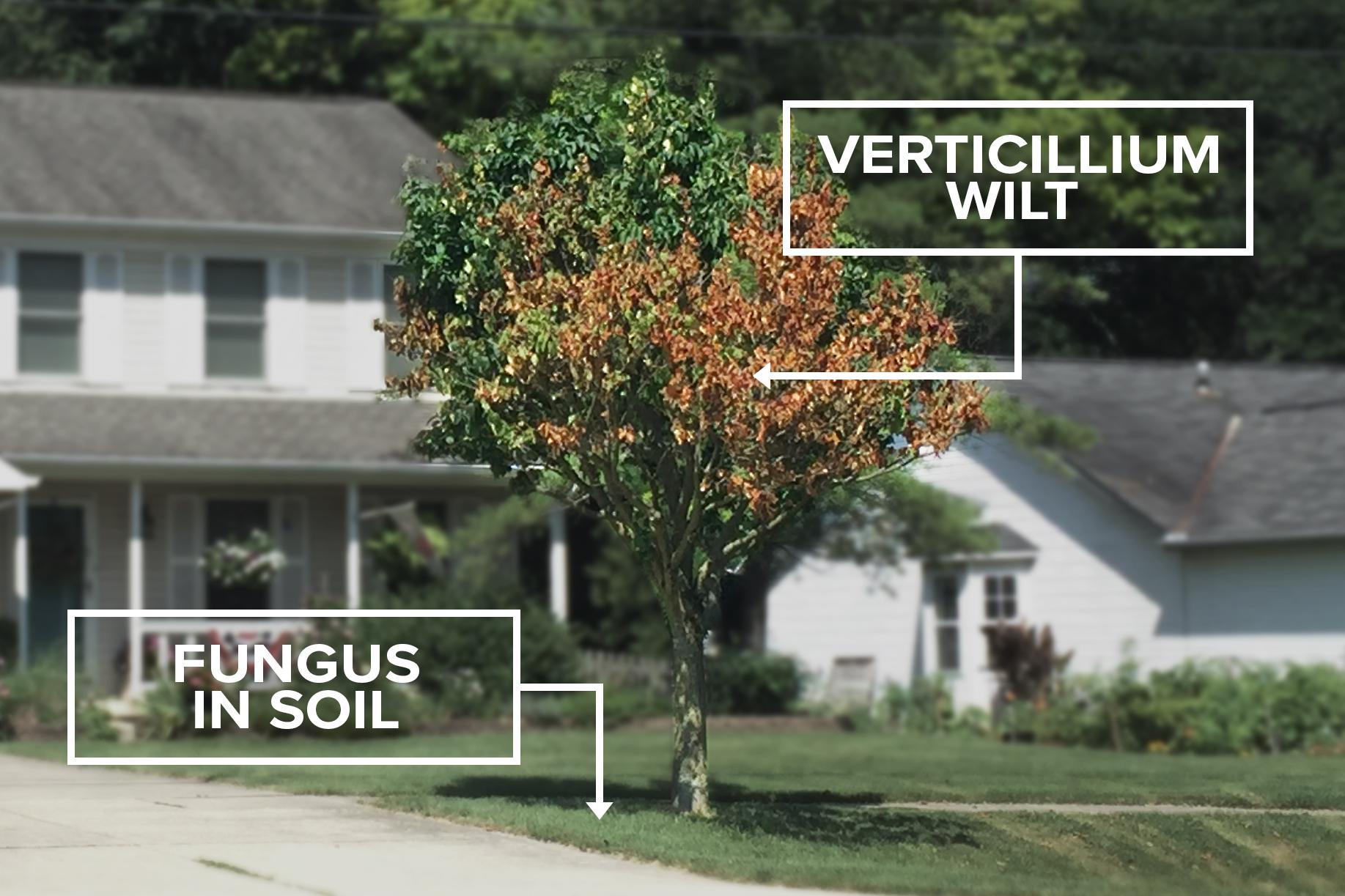 180806-verticillium-wilt-01.jpg