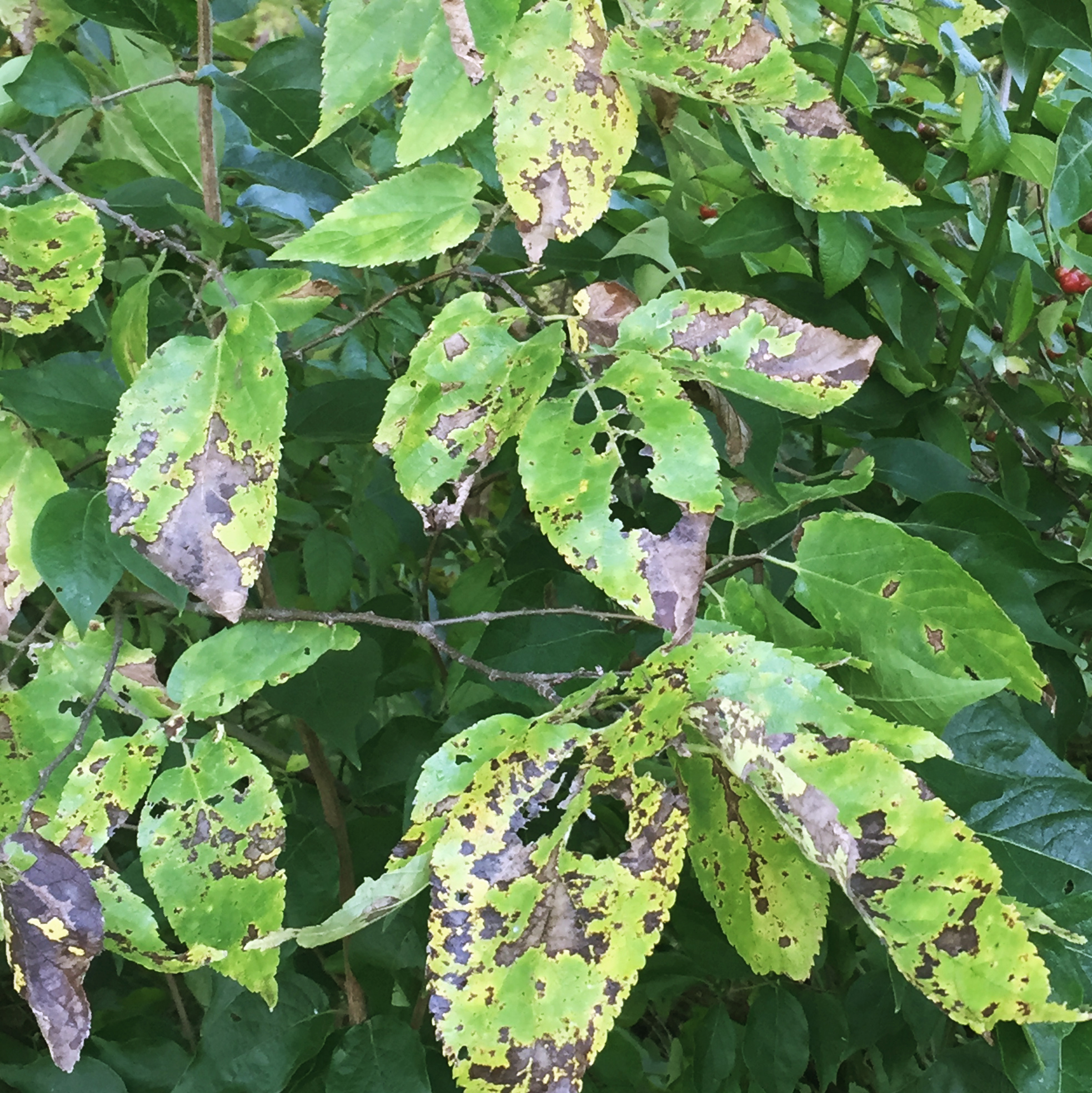 Hackberry. Foliar fungus (possibly) with some insect feeding damage.