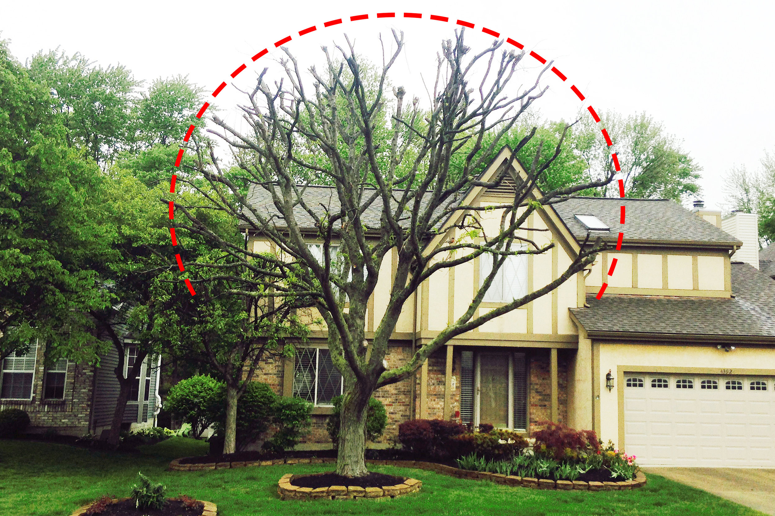 """Residential tree improperly trimmed called """"topping"""" (click to enlarge)"""