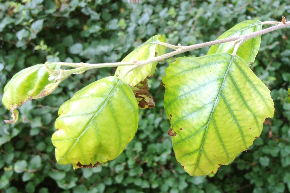 Chlorosis in a River Birch