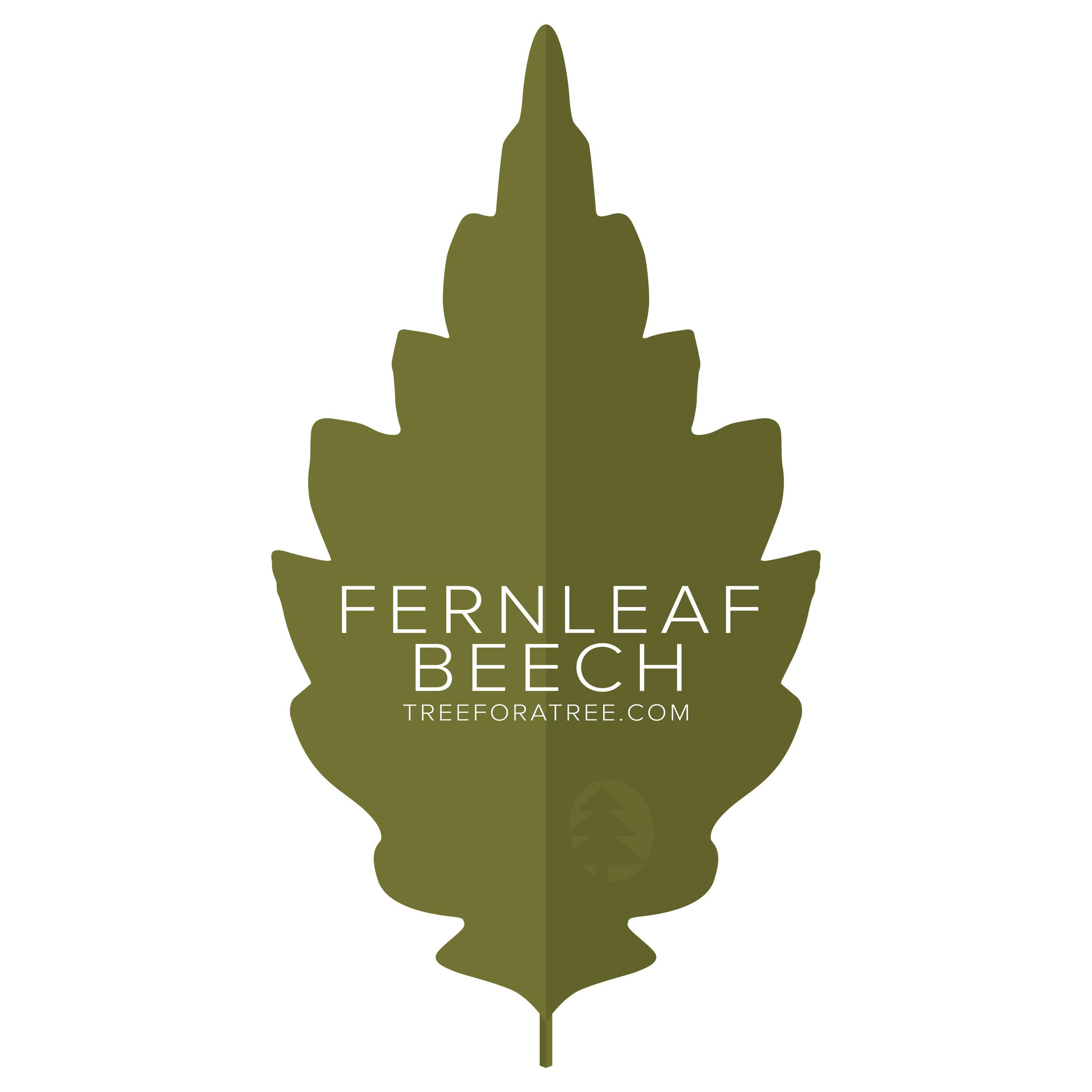 Fernleaf Beech - Latin Name: Fagus sylvatica AsplenifoliaGrowth Rate: SlowMature Height: ≈60 ftMature Spread: ≈40 ftState Champ: N/A