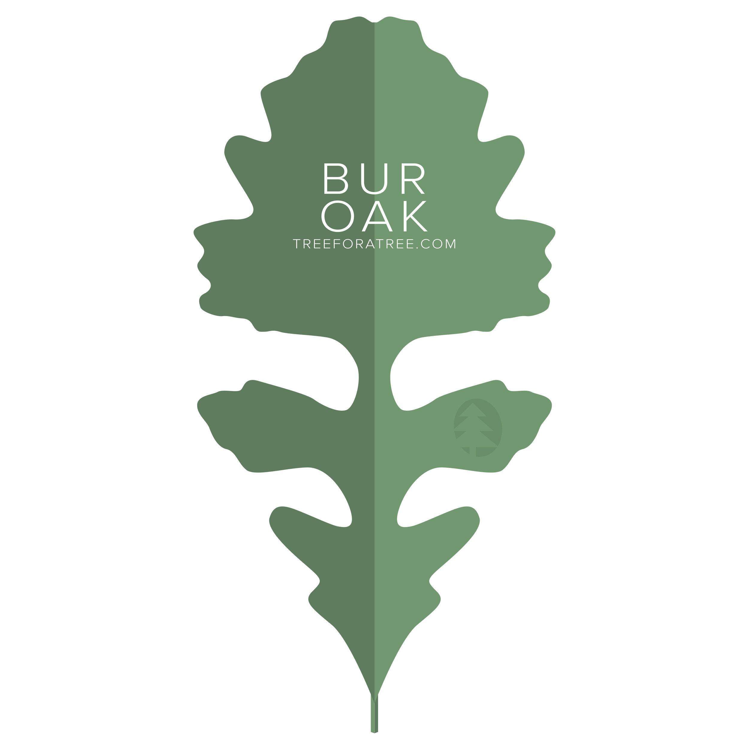 Bur Oak - Latin Name: Quercus macrocarpaGrowth Rate: SlowMature Height: ≈85 ftMature Spread: ≈75 ftState Champ: Pickaway Co. (90' high x 124' spread)