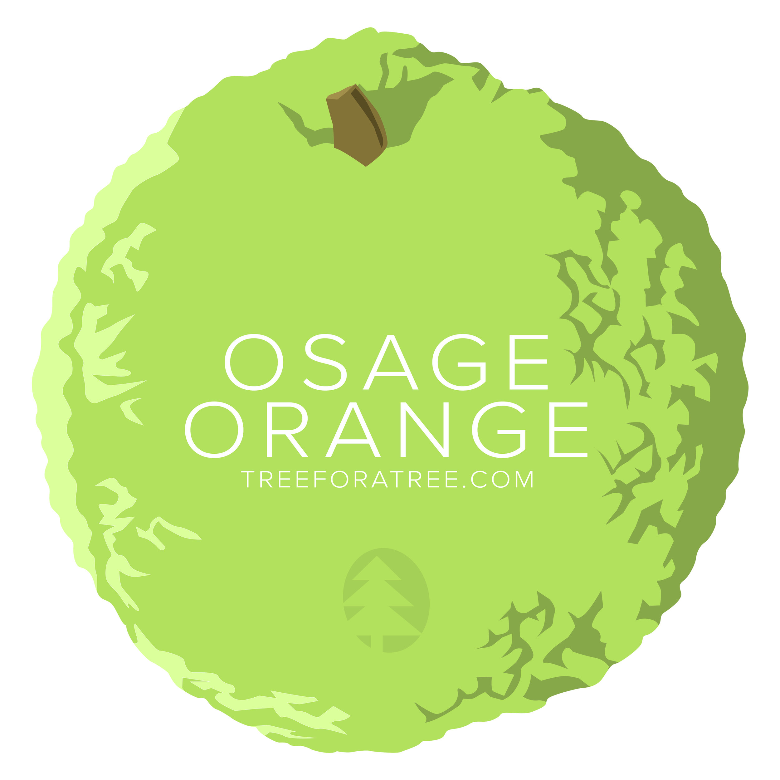 Osage Orange - Latin Name: Maclura pomiferaGrowth Rate: Very FastMature Height: ≈35 ftMature Spread: ≈35 ftState Champ: Hamilton Co. (75' high x 81' spread)