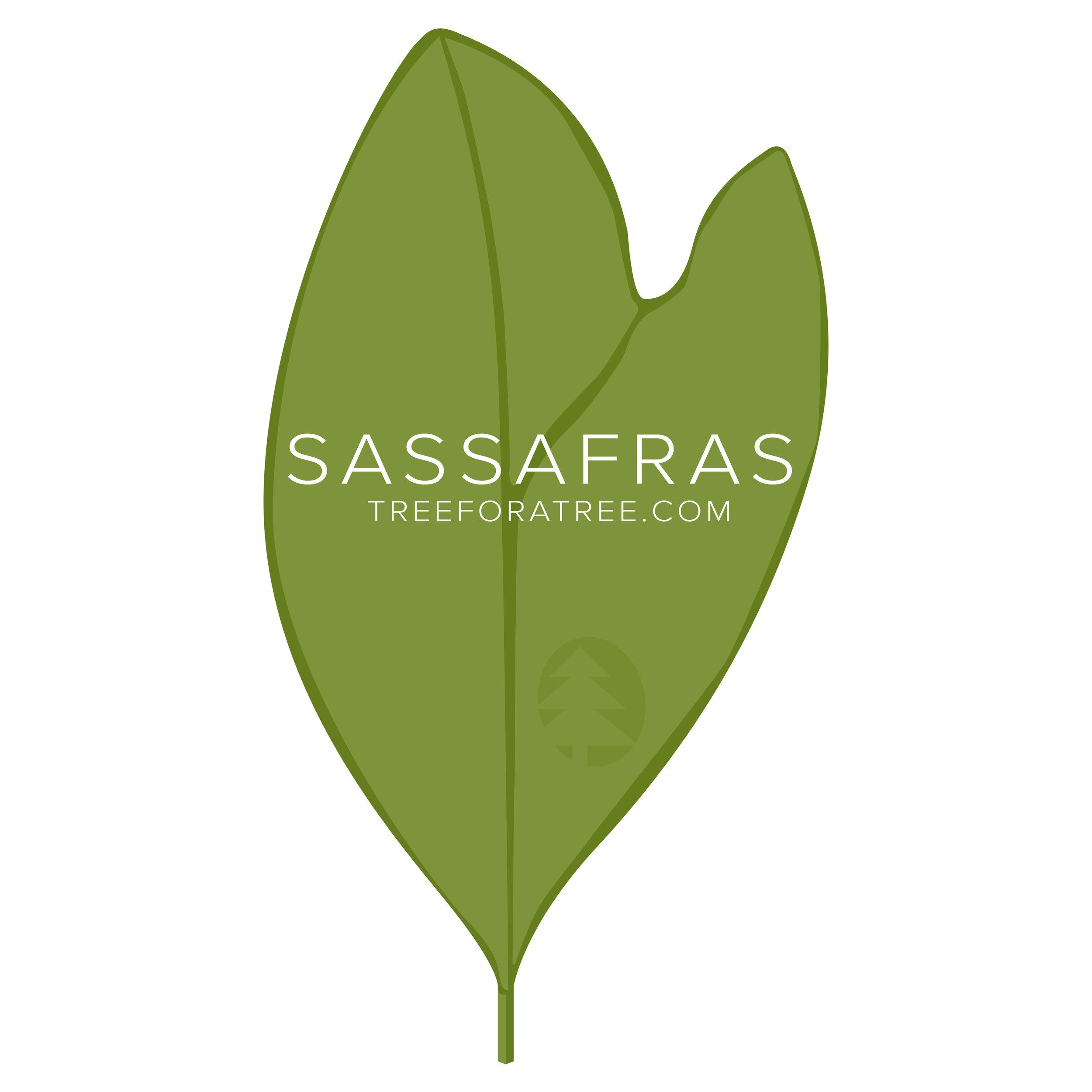 Sassafras - Latin Name: Sassafras albidumGrowth Rate: Very FastMature Height: ≈50 ftMature Spread: ≈30 ftState Champ: Portage Co. (57' high x 61' spread)