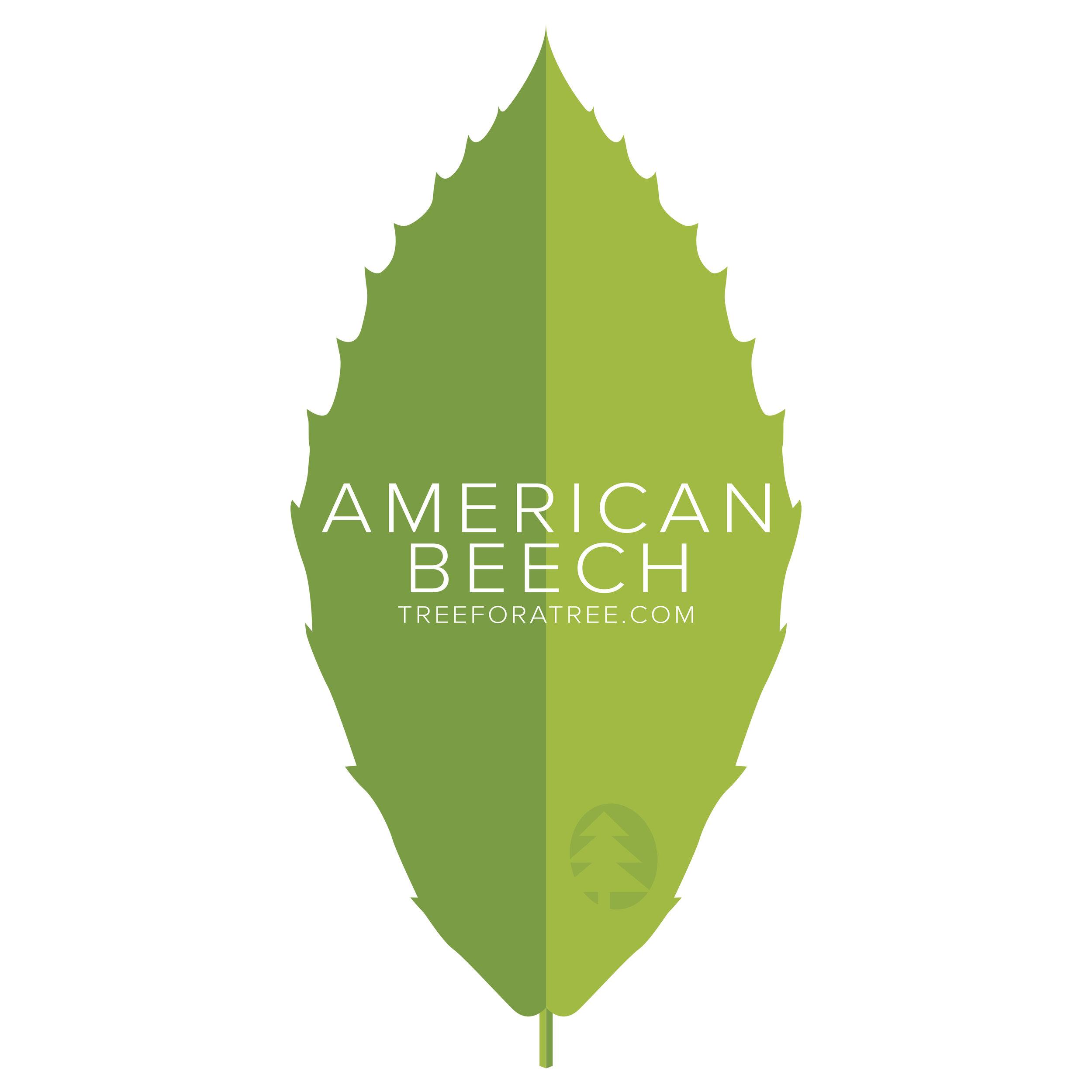 American Beech - Latin Name: Fagus grandifoliaGrowth Rate: SlowMature Height: ≈65 ftMature Spread: ≈85 ftState Champ: Ashtabula Co. (96' high x 32' spread)
