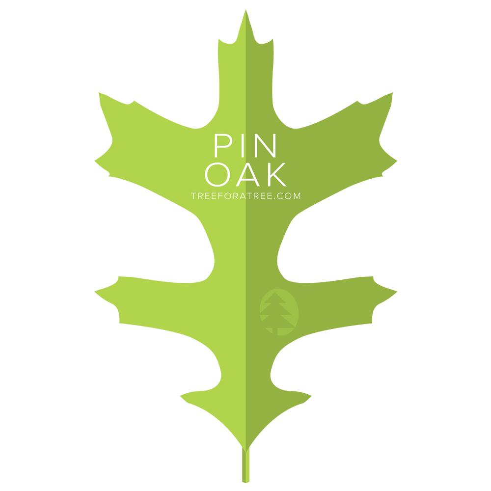 Pin Oak - Latin Name: Quercus palustrisGrowth Rate: Very FastMature Height: ≈70 ftMature Spread: ≈40 ftState Champ: Clermont (126' high x 104' spread)