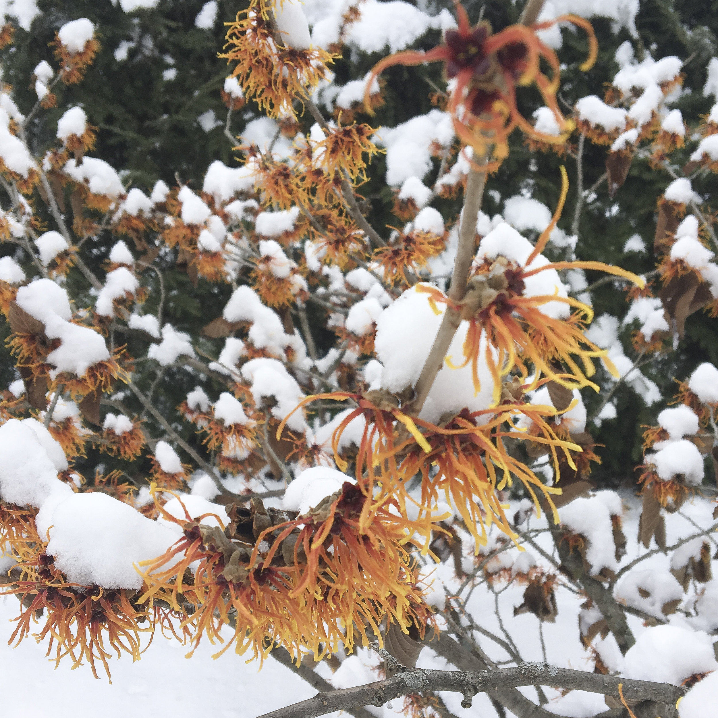 Witchhazel - The snow-covered flowers of the Winter blooming Jelena Witchhazel, Hamamelis x intermedia 'Jelena.'