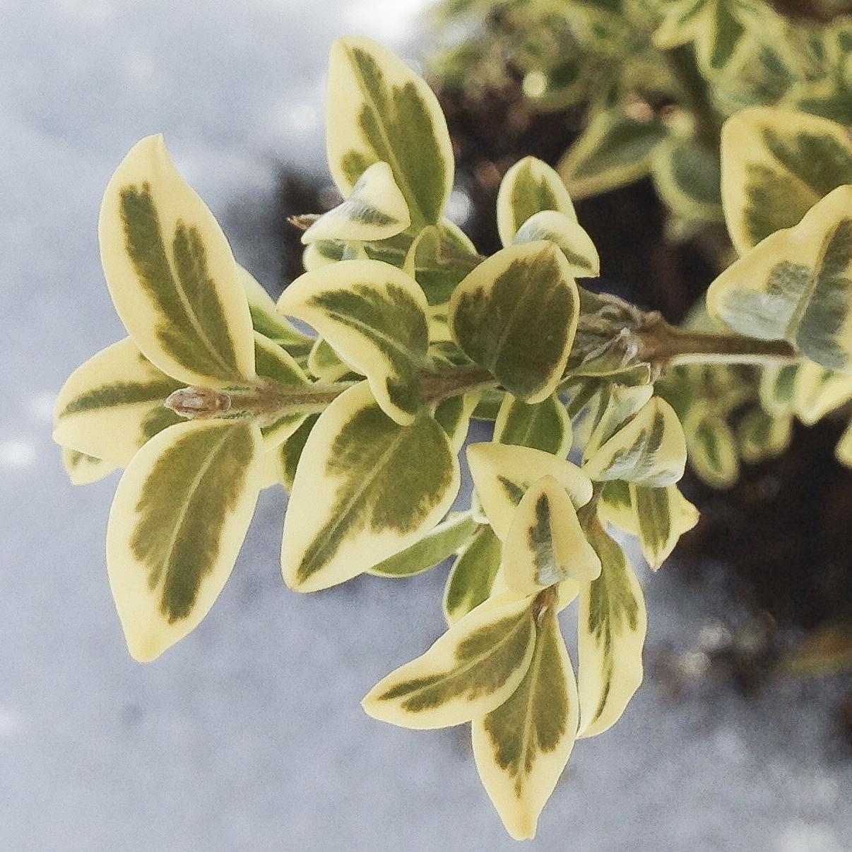 English Boxwood - The variegated foliage of English boxwood, Buxus sempervirens 'Variegata.'