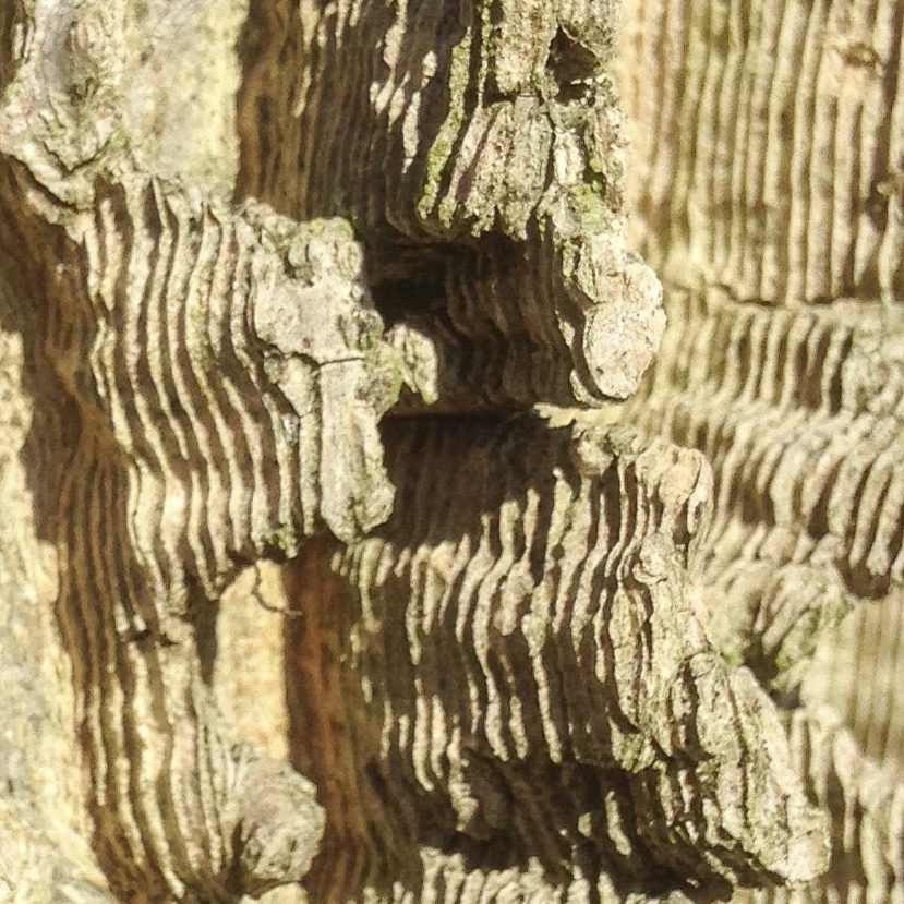 Hackberry - The close-up view of Hackberry bark, Celtis occidentalis. This picture reminds me of the Grand Canyon. When I look at it, I can imagine tiny people on little pack mules traveling along the ridges.