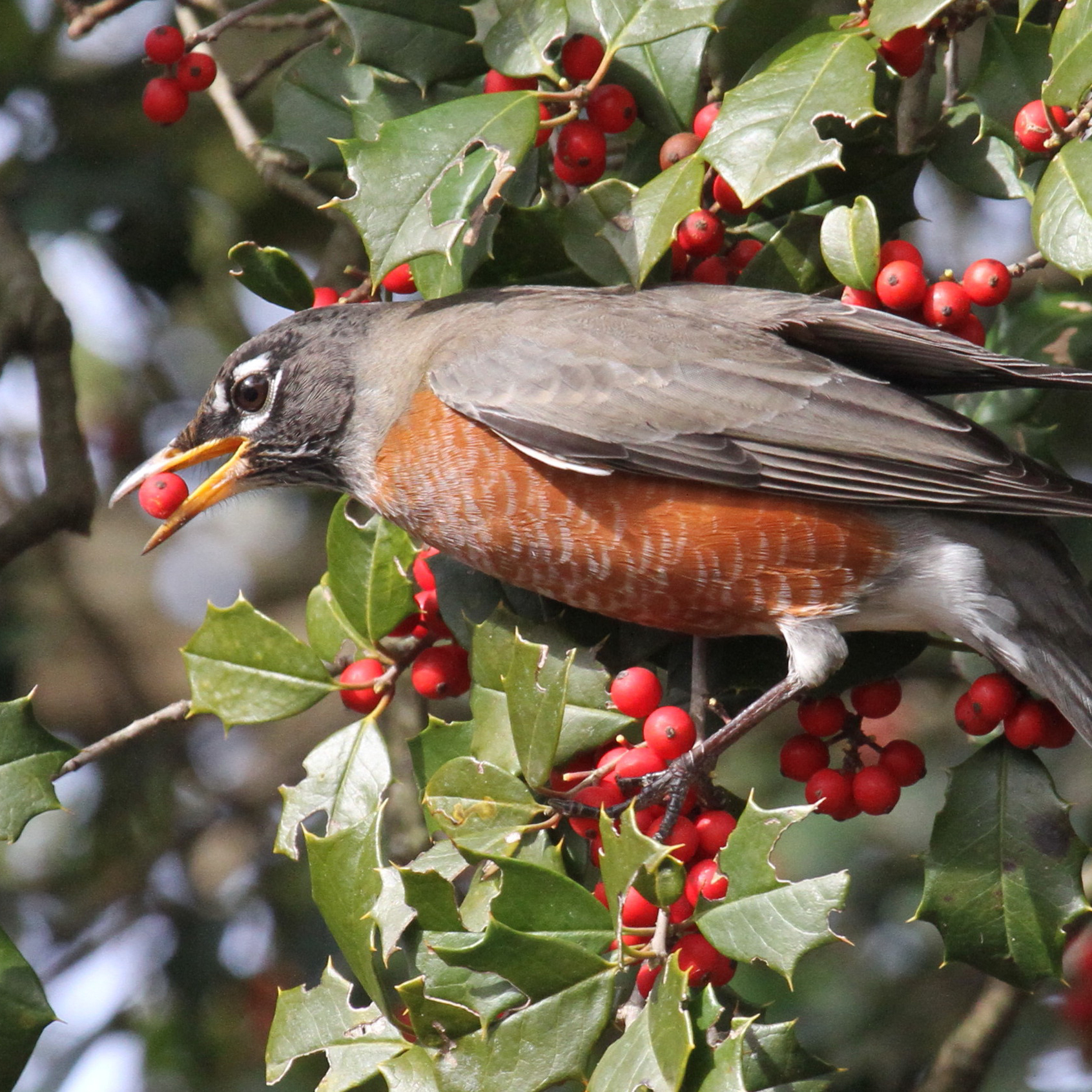 American Holly - Ilex opacaThis large shrub to small/medium sized tree produces showy red fruit on female plants that are sought after by mockingbirds, thrashers, robins, wrens, warblers and woodpeckers.