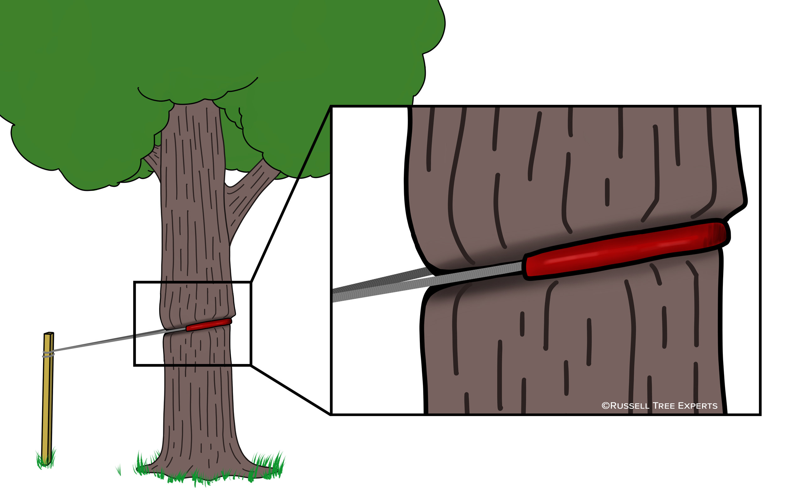 Illustration of a tree being girdled by a guy wire. ©Russell Tree Experts