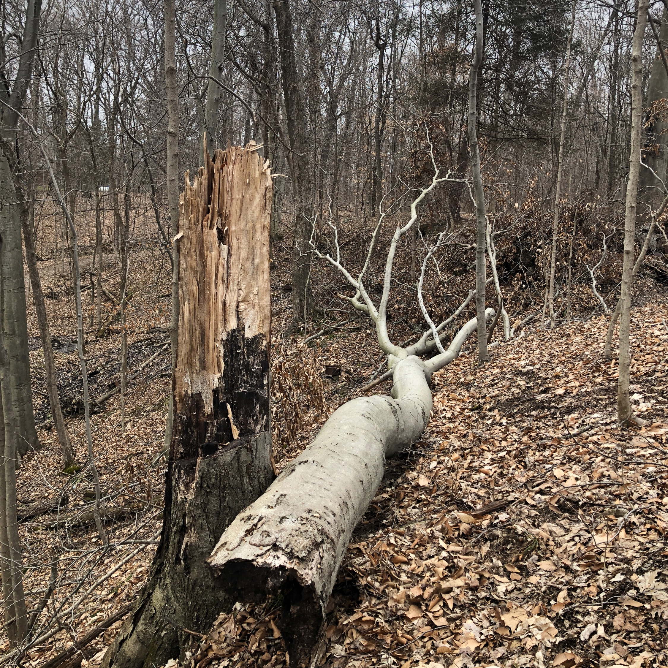 Our American beech tree that recently succumbed to high winds