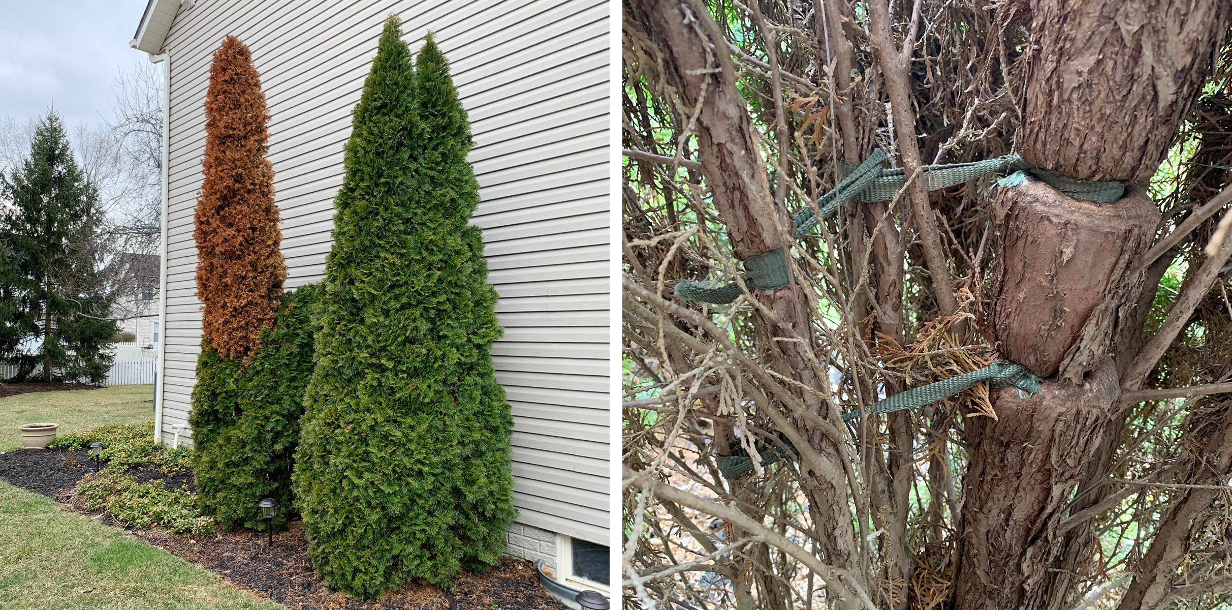Pictured above is an Emerald Green Arborvitae that is being girdled by a fabric ribbon used to help promote proper growth of the tree when it was much younger.