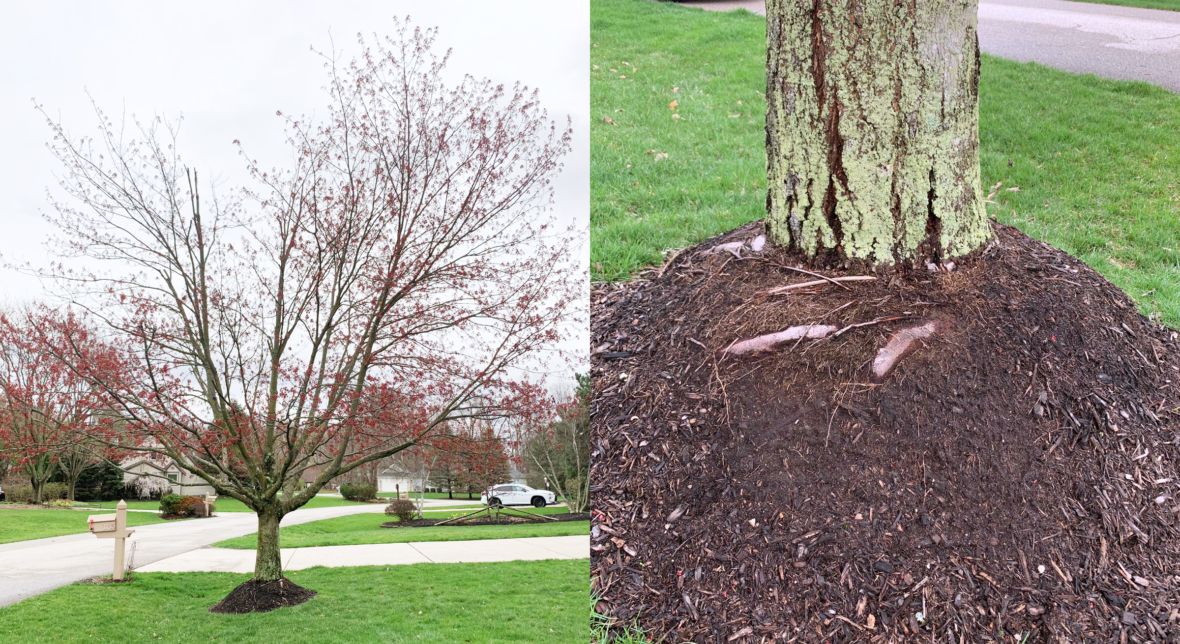 The mulch mound around the base of this tree has caused new roots to grow around the root flare. These new roots are now girdling (choking) the tree causing it to decline (see lack of leaves/growth in the crown of the tree).