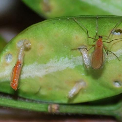Boxwood Leaf Miner - Common Hosts: Boxwood