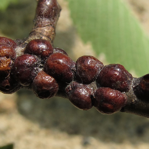 Lecanium Scale - Common Hosts: Crabapple, Pear, Honeylocust