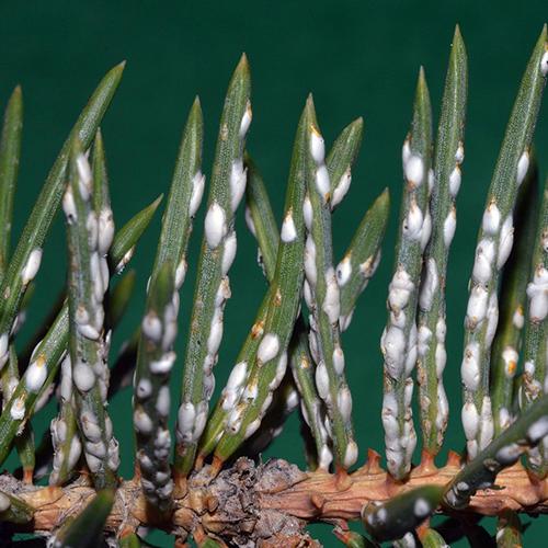 Pine Needle Scale - Common Hosts: Mugo Pine, White Pine