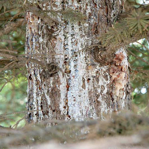 Pitch Mass Borer - Common Hosts: Spruce