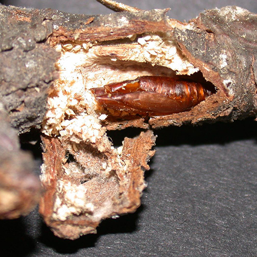 Zimmerman Pine Moth - Common Hosts: White Pine, Scotch Pine