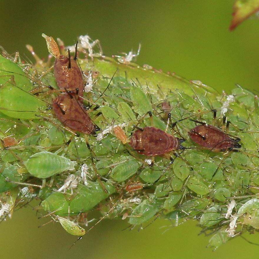 Aphids - Common Hosts: River Birch, Spirea, Hawthorn