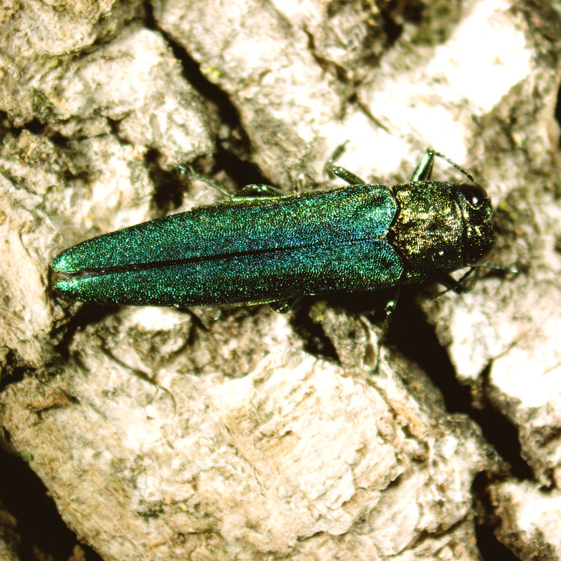 """Emerald Ash Borer - Common Hosts: AshTreatment for this insect is included within the ITHM plan only for trees smaller than 10"""" in diameter"""