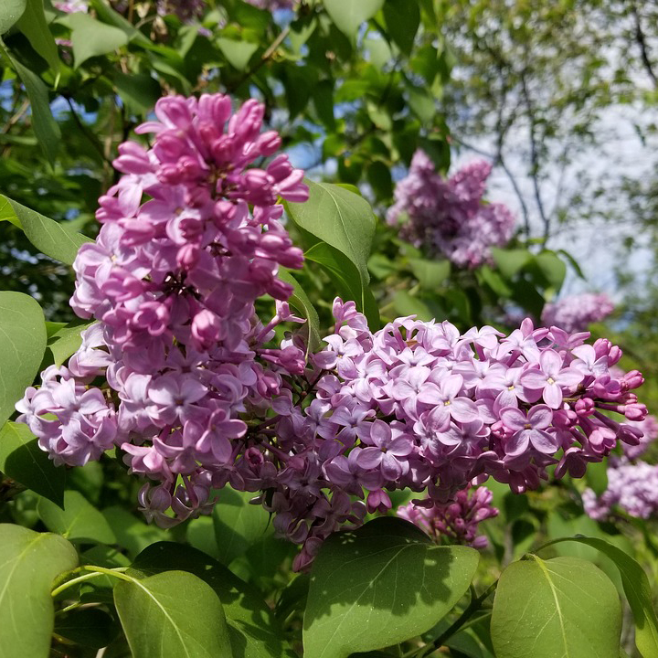 Lilac Borer - Common Hosts: Old Fashioned Lilac