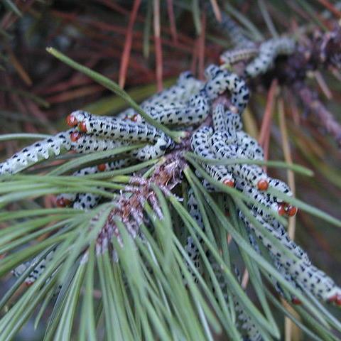 Pine Sawfly - Common Hosts: Mugo Pine