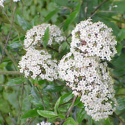 Viburnum Crown Borer - Common Hosts: Fragrant Viburnums